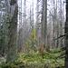 Toter Wald bei Bärenegg
