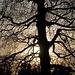 Feines Geäst an starkem Baum