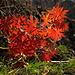 Storchschnabel-Blätter