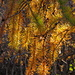 zarte  Lärchenzweige. Zwischen 1500 und  1700 m am schönsten golden