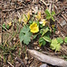 Ranunculus auricomus, Ranunculaceae ???<br />   Al 19 novembre, a 1500 metri su un versante Est.