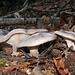 """L'autunno è ancora tra noi. Questo fungo (dovrebbe trattarsi di un gruppo di agarici nebulosi, """"Lepista nebularis"""") ha una proprietà molto pericolosa: attraverso una tossina chiamata """"nebularina"""" (peraltro soltanto in concentrazioni elevatissime) può indurre la mutagenesi, cioè un'alterazione del codice genetico. Questi tre esemplari non sono comunque sufficienti: in questo caso, la massima di Paracelso (""""è la dose che fa il veleno"""" originariamente """"Dosis sola facit, ut venenum non fit"""", o anche """"Alle Ding' sind Gift und nichts ohn' Gift; allein die Dosis macht, das ein Ding kein Gift ist"""") è vera, differentemente dal caso dell'Amanita Phalloides, della quale anche una piccola dose sembra essere letale."""