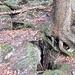 Im Abstieg nach Verachta, im Abstieg zum Bruch: Erdspalte wird scheinbar noch durch diesen Baum zusammengehalten.