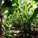 beschauliches Wandern durch die Bananen-Plantage 1