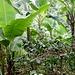 beschauliches Wandern durch die Bananen-Plantage 2; mit Kaffee-Stauden ...