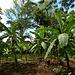 noch eine Bananen-Plantage ...