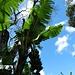 Bananen-Plantagen - überall ...