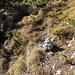 Hier gehts ab vom Wanderweg - der Steinmann markiert den kurzen Anstieg durch Latschen zum Rauhenstein