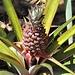 auch Ananas' gedeihen hier © Moni