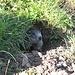 Hier grüßt das Murmeltier