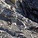 Noch mal davongekommen: Diese Steinböcke am Zanaihorn sind den Jägern entronnen - ein dreieinhalbjähriger Jüngling hatte weniger Glück...