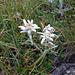 Edelweiss, Leontopodium alpinum, beim Abstieg zum Lago di Luzzone