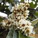 Fiore sconosciuto di albero (di alto fusto) sconosciuto (non troppo endemico, mi pare).  Grazie al suggerimento di [u giulianoR], l'albero sconosciuto ha finalmente trovato un nome: trattasi di un Nespolo del Giappone (effettivamente non era molto endemico...)