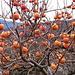 La pianta dei Kaki, il cui frutto è detto anche diospiro o mela d'Oriente