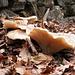 Funghi tardivi