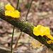Funghi gelatinosi gialli
