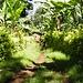 beschaulicher Gang durch eine Bananen-Plantage © Bauke