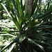 Yuccas - dienen oft als Abgrenzung zwischen den verschiedenen Grundstücken © Bauke