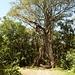 Arched Fig Tree; der geteile Feigenbaum