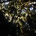 Bartflechten im Regenwald