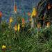 Feuerlilien, hier häufig anzutreffen