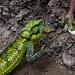 Handgroßes Chameleon wollte sich nicht braun färben, sondern lieber wieder ins Grüne flüchten