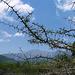 Ein stachliger Geselle! Acacia karroo. Sicherheitsabstand kann nicht schaden...