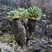 Als wir vom Lava-Tower (4600m) wieder hinabsteigen, erfreut sich unser Auge am wieder erscheinenden Grün der Pflanzen
