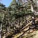 schön: der lichte, sonnendurchflutete Wald beim Abstieg