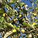 ... und Reichtum an Früchten 1: Zitronen ... © Moni