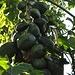 ... Reichtum an Früchten 2: Papayas © Moni