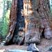 Der grösste Baum der Welt – da staunt selbst der kleine [U Delta] (Foto: D. F.)