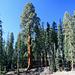 Riesen-Sequoia