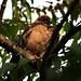 Purpurtaube (Patagioenas subvinacea) in einer Baumkrone bei unserer Unterkunft in Quito.