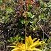 Wer kennt die halbsukkulente Pflanze mit Blühtenstand welche ich im Aufstieg unterhalb des Gipfels vom Cerro el Chivo fand?<br /><br />Es könnte sich möglicherweise um eine Art der Gattung Tillandsia handeln?