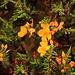 Hypericum laricifolium mit Blüten.