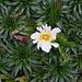Blüte einer Azorella pedunculata.