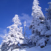 Tannen im Winterkleid
