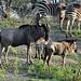 Gnu mit Jungtier - inmitten vieler Zebras © Moni