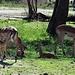 Familienleben der Impalas © Moni