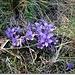 Flori de munte - Gentiana (Gentianella germanica)