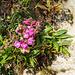 Auch im Winter blühen an den Mauern vereinzelt Löwenmäulchen (Antirrhinum majus)