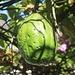 Frucht einer Riesen-Granadilla (Passiflora quadrangularis). Die Art gehört zu den Passionasblumen und bildet sehr grosse essbare Früchte.