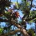 Baños (1815m): Bromelien wachsen auf einem blühenden Palisanderholzbaum (Jacaranda mimosifolia).