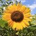 Baños (1815m): Zum warmen Wetter passt die Sonnenblume (Helianthus annuus) - eine schönes Foto zum meteorologischen Winteranfang am 1. Dezember !