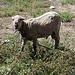 Ein verwahrlostes und wohl krankes Schaf mitten in der Stadt Riobamba (2750m).