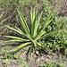 Eine mir unbekannte Agavenart auf etwa 2000m in Talkessel vom Río Chanchán. Die Pflanze trifft man oft an, doch wer kennt sie?