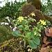 Gelbe Blümchen eines Dickblattgewächses