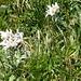 Edelweiss am Rappastein