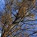 Unterwegs traf ich schon an einigen Stellen auf leuchtend gelbe Beeren uf dem Wanderweg und konnte nichte herausfinden von wo sie kamen. Hier sah ich die Herkunft, es ist die Eichenmistel (Loranthus europaeus) welche ich in der Schweiz noch nie sah und  deshalb die Beeren nicht erkannte.